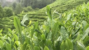 Kovid-19 sürecinde kendi çayını toplayan üretici kaliteyi artırdı