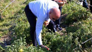 Ata tohumunun lezzetli mahsulleri hasat edildi