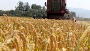 Manyas'ta çeltik hasadına başlandı